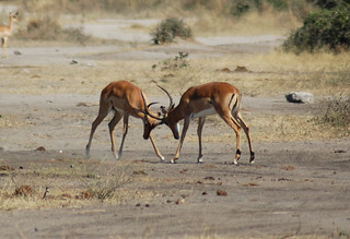 impalas-fighting | by quirkytravelguy