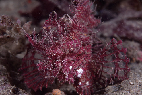 Rhinopias frondosa 前鰭吻鮋