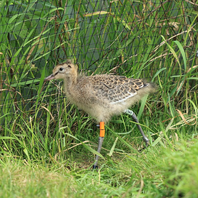 WE-GT-2018 Project Godwit chick OfO-WL(E)