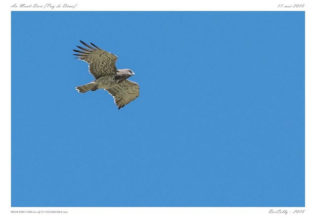 Circaète Jean-le-Blanc   Short-toed Snake Eagle