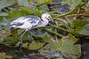 Little Blue Heron by DFChurch