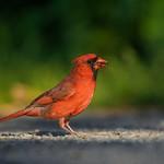 Cardinal rouge (m) / Northern cardinal (m)