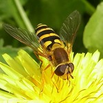 Große Schwebfliege (Common Banded Hoverfly, Syrphus ribesii)