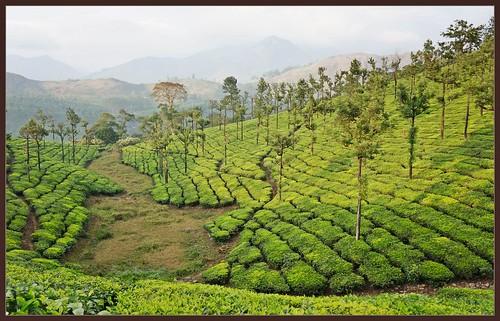 india mountains nature december tea tamilnadu 2012 westernghats teaestate stanmore valparai indianature anamalais snonymous valparaiteaestate anamallais woodbriarestate stanmoreestate anaimallais woodbriarsstanmoreestate