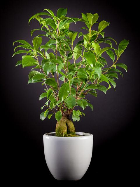 Ginseng Ficus 1922