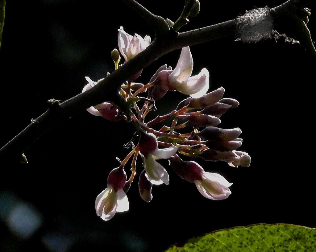 Piscidia piscipula_Fish poison tree_Fabaceae_Rani Bagh_2012_04_11 c