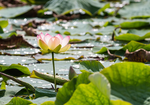 Beginn der Lotusblüte