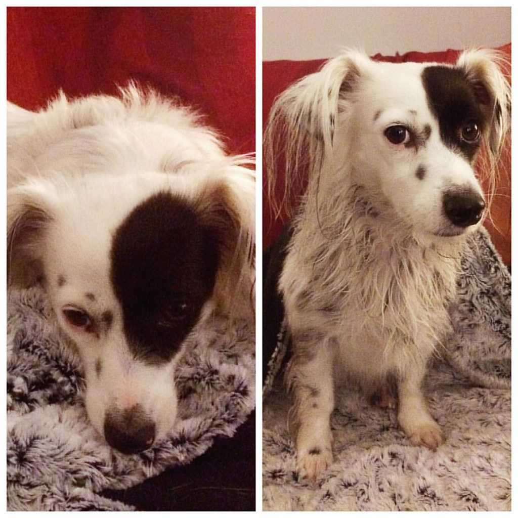 Mia, before and after a rare bath.
