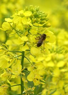 Colza & abeille   by Chambre Agriculture Ille-et-Vilaine