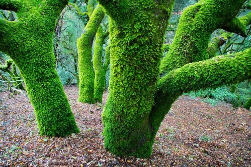 california tree skyline landscape moss oak liveoak santacruzmountains skylineblvd skeggspoint
