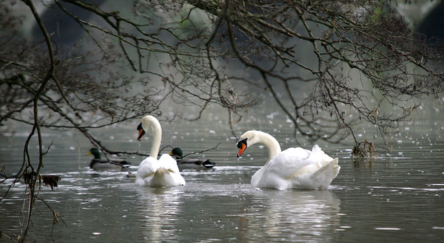 SWAN ON THE STOUR