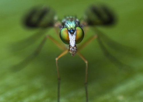 macro eye canon bug close 28mm greenfly reversemacro 40d