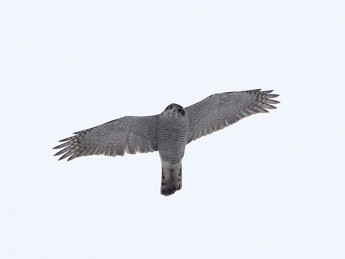 Goshawk; Accipiter gentilis | by phenolog