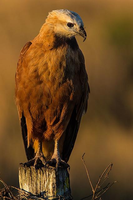 Gavião Belo (Busarellus nigricollis) - Black-collared Hawk