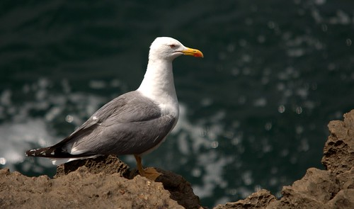 Gaivota Argêntea / Larus michahellis / Yellow legged gull | by Ruiworld