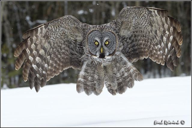 Great Gray Owl (20130301-1341)