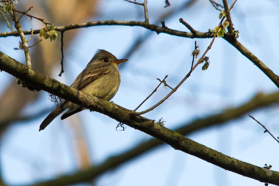 Greater Pewee | Bear Creek Park, Harris County, Texas ebird
