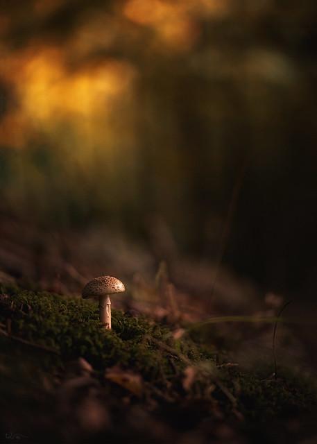 Twilight shroom
