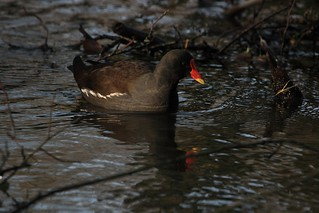 Moorhen inspecting the mud | by Cyclingrelf