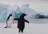 Adelie Penguins - Pygoscelis adeliae DSC_0487 by Mary Bomford