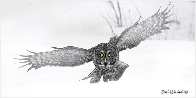 Great Gray Owl (20130301-2195a)