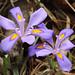 Iris verna - Photo (c) Philip Bouchard, osa oikeuksista pidätetään (CC BY-NC-ND)