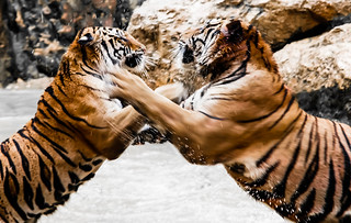 Tigers fight | by @Doug88888
