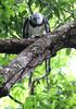 Harpy Eagle 121113 Harpia harpyja by Langham Birder