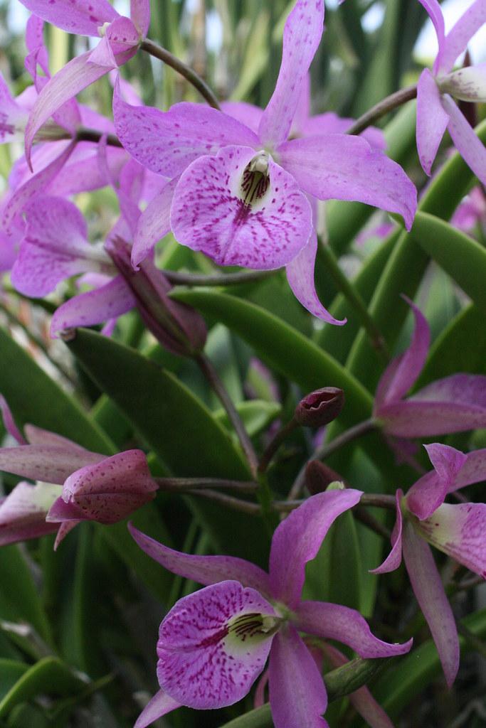 Brassocattleya missouri botanical garden 2013 orchid - Orchid show missouri botanical garden ...
