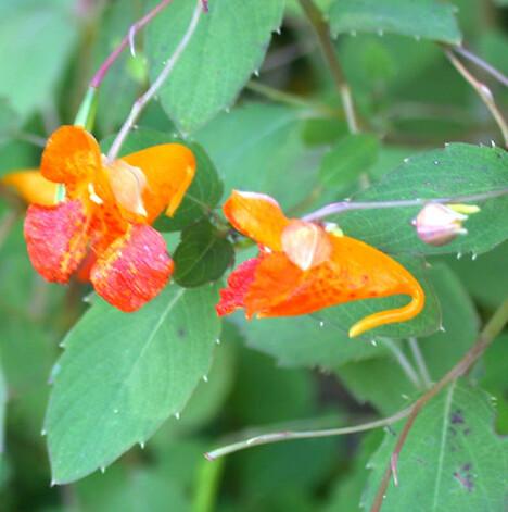 jewelplant