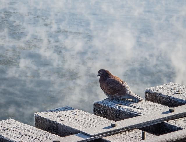 frosty pigeon