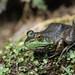 Pagoda-eyed Frog by Sandy Kuiper