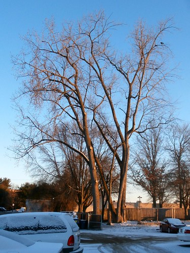 winter cold colors sunrise bright massachusetts cottonwood crows westspringfield cottonwoodtrees ahobblingaday brassmonkeyeunuchscold