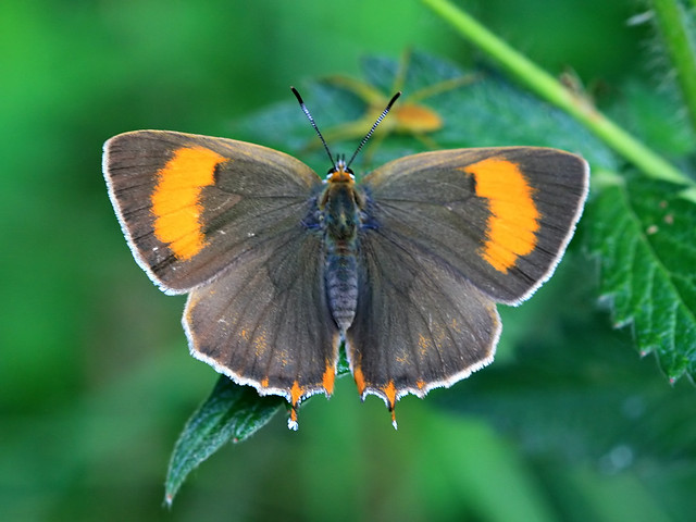 Brown Hairstreak, Brasov, Ro