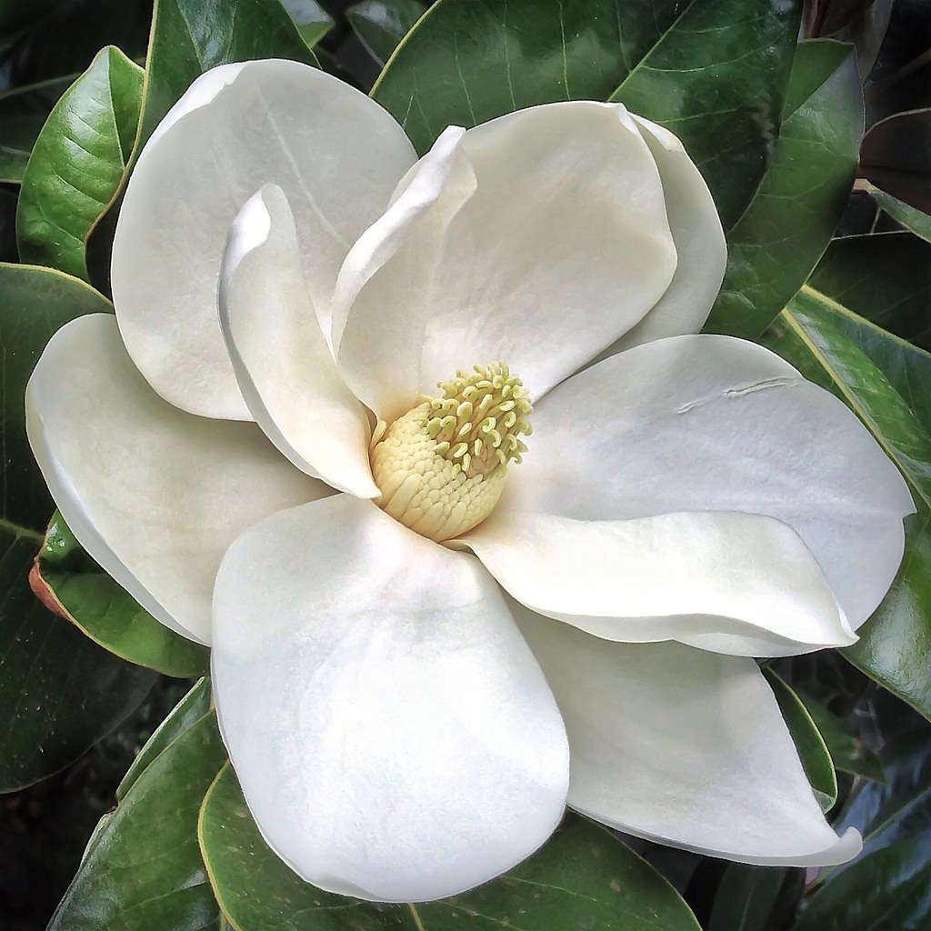 Pink Iphone: Southern Magnolia Flower