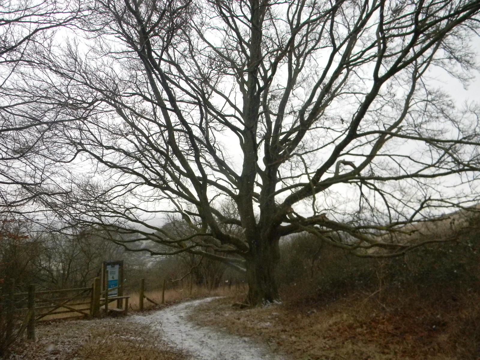 Big tree Tring to Berkhamsted (via shortcut)