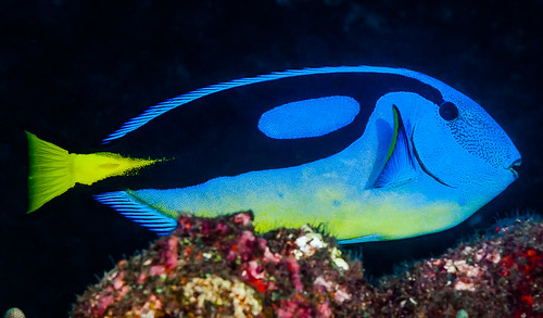 Palette Surgeonfish, Western Indian Ocean form - Paracanthrus hepatus | by zsispeo