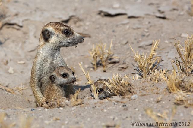 Meerkat + baby