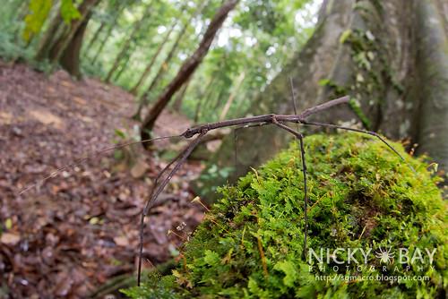 Stick Insect (Phasmatodea) - DSC_6306 | by nickybay