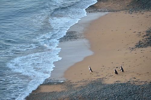 newzealand bird beach water penguin wave otago aotearoa oamaru southhill yelloweyedpenguincolony bushybeachroad