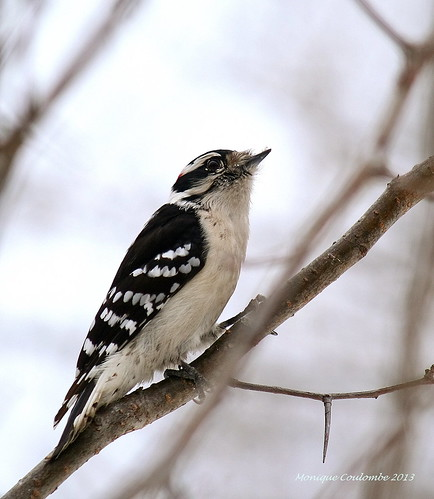 Pic - Woodpecker | by Monique Coulombe