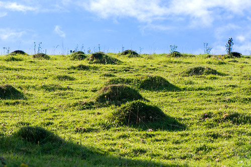 british european fauna formicidae lasiusflavus nature uk wildlife afternoon anthills ants bumps countryside farmland field grass insect meadow shadow sky sun yellowmeadowant