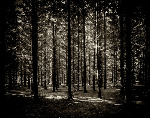 kuusikko canonpowershotsx130is bw spruceforest helsingfors uusimaa finland fi