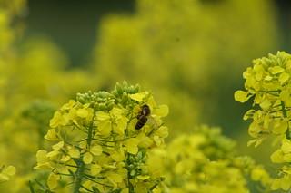 Colza & abeille | by Chambre Agriculture Ille-et-Vilaine