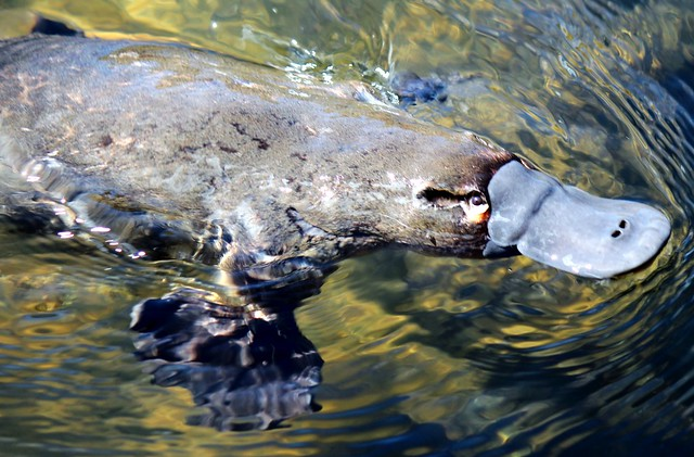 Platypus  fully emerged from the water.