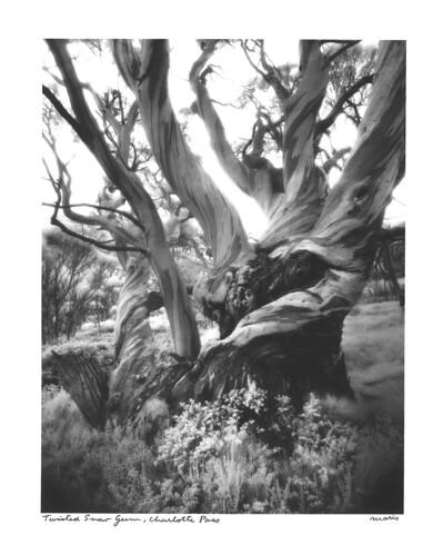 tree film australia photograph 4x5 f56 twisted largeformat schneider snowgum charlottepass 75mm efke superangulon tachihara gelatinsilver ultrafine ir820 45gf ir680t