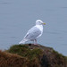 Flickr photo 'Iceland Gull. Larus  glaucoides' by: gailhampshire.