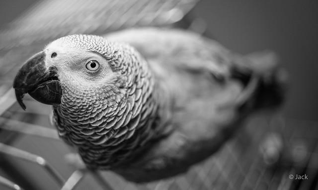 Turco - my African grey
