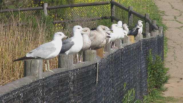MVI_7143 various gull stages on fence LLC 14s