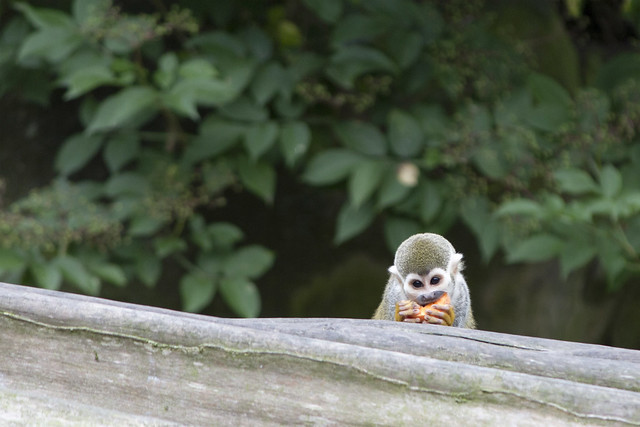 Squirrel monkey, Blackpool Zoo, Blackpool, Lancashire, UK